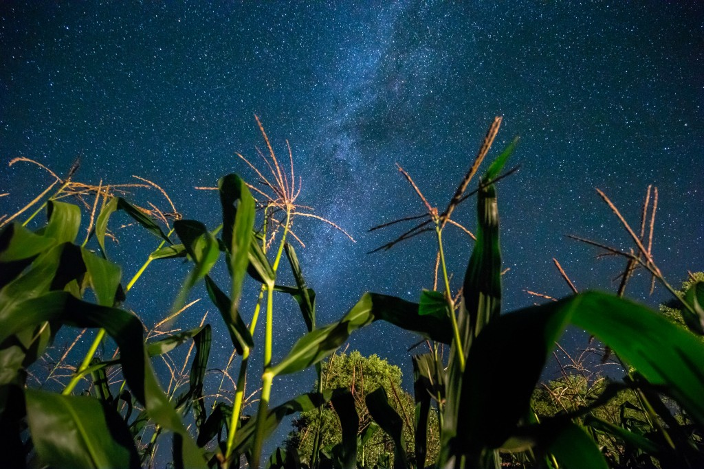 Bottom View Of Night Starry Sky With Milky Way From Green Maize Corn Field Plantation In Summer Agricultural Season. Night Stars Above Cornfield