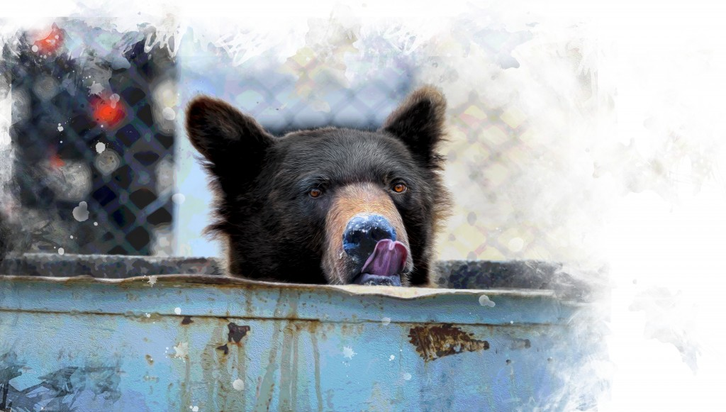 The Bear Eats Out Of The Trash Can, The Territory Of The Camp In The North Of Sakhalin Island, Russia.