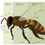 Honeybeeanatomy